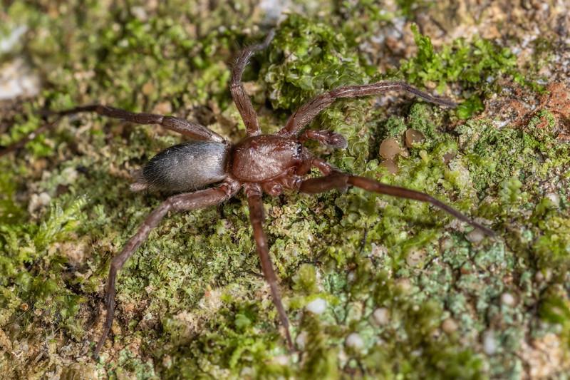 Ground spider (Hypodrassodes maoricus). Nikau Creek, Wainuiomata, Wellington.