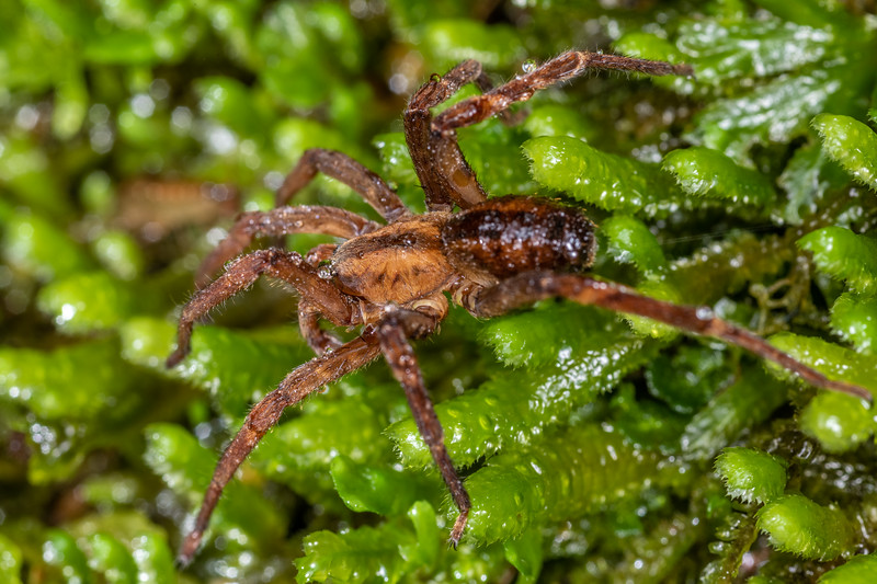 Sorensen's spider (Gradungula sorenseni). Maori Saddle, Westland.