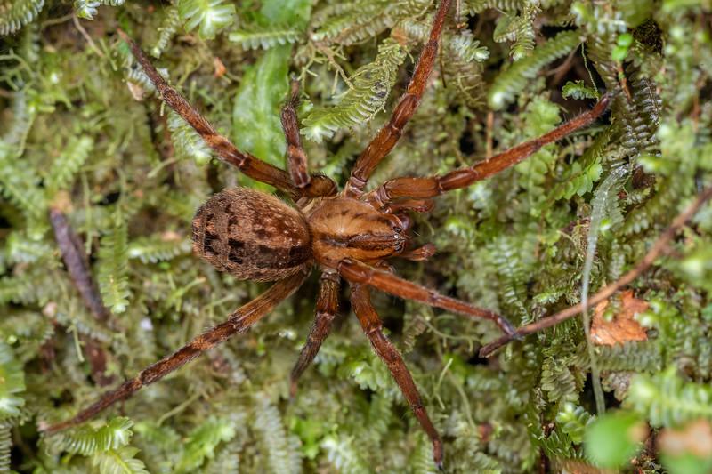 Sorensen's spider (Gradungula sorenseni). Monro Beach Walk, Lake Moeraki, South Westland.