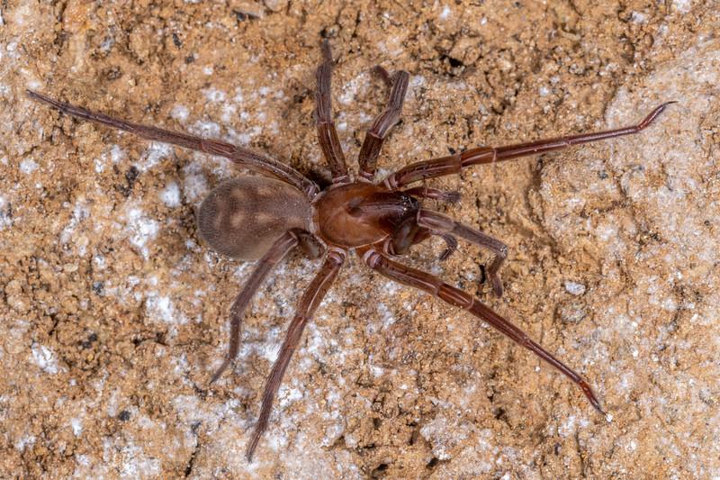 Piano Flat spider (Pianoa isolata). Piano Flat, Waikaia, Southland.