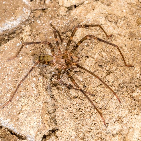 Nelson cave spider (Spelungula cavernicola). Crazy Paving Cave, Oparara Basin, Westland.