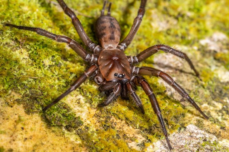 Banded tunnelweb spider (Hexathele hochstetteri). Waipu Caves Track, Northland.
