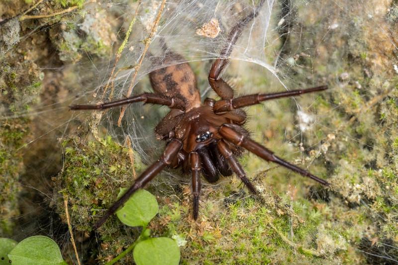 Banded tunnelweb spider (Hexathele hochstetteri). Ruakuri Track, Waitomo.