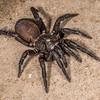 Trapdoor spider (Cantuaria spp.). Crazy Paving Cave, Oparara.
