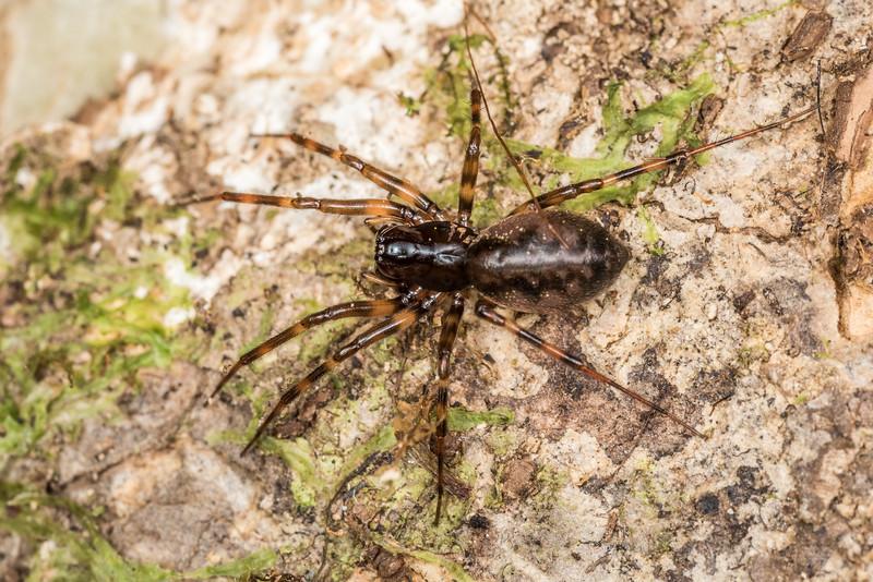 Spider (Subfamily Mynogleninae). Green Point, Chatham Island.