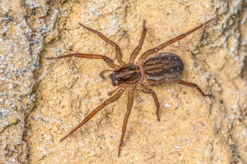 Brown wolf spider (Allotrochosina schauinslandi). Huriawa Peninsula, Karitane, Otago.