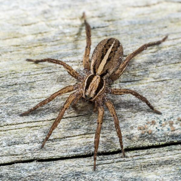 Garden wolf spider (Anoteropsis hilaris). Opoho, Dunedin.