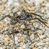 Wolf spider (Anoteropsis litoralis). Stafford Bay, South Westland.