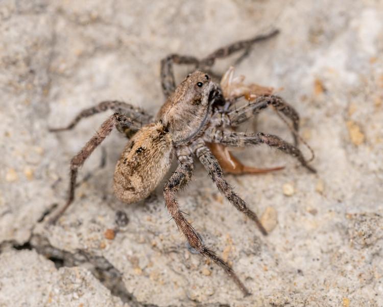 Shore wolf spider (Anoteropsis litoralis) preying on shore earwig (Labidura riparia). Marfells Beach, Marlborough.