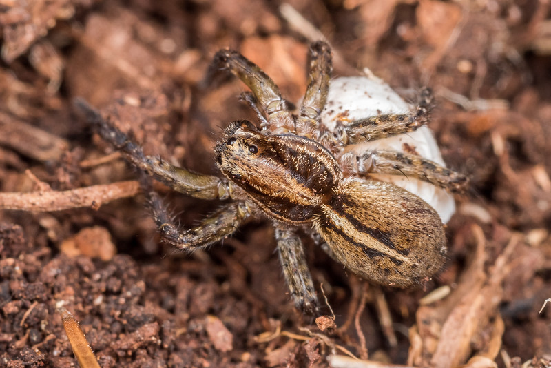 Wolf spider (Anoteropsis ralphi). Green Point, Chatham Island.