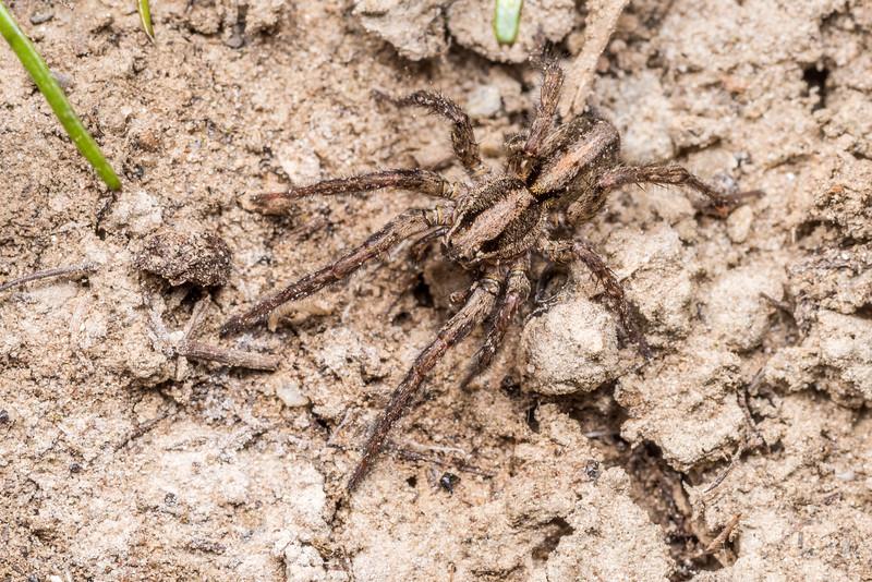 Wolf spider (Anoteropsis spp.). Butchers Dam, Alexandra, Central Otago.
