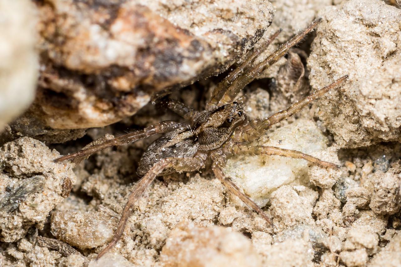 Wolf spider (Anoteropsis spp.). Deep Stream, Otago.