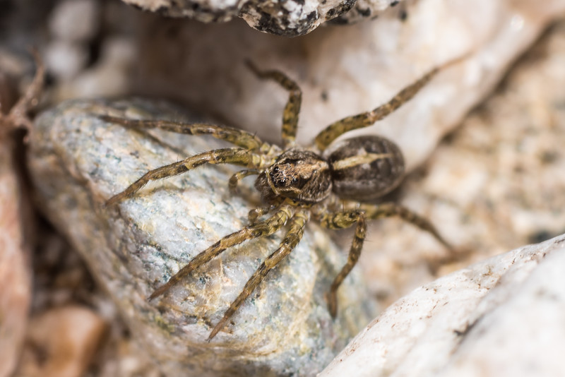 Wolf spider (Anoteropsis spp.). Lake Hauroko, Fiordland National Park.