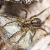 Wolf spider (Anoteropsis spp.). Lake Hauroko, Fiordland National Park.