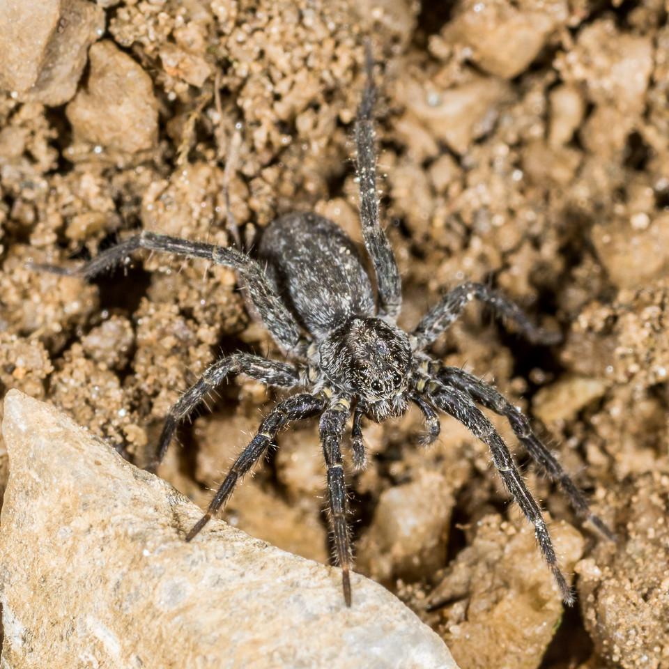 Wolf spider (Family Lycosidae). Mount Arthur, Kahurangi National Park.