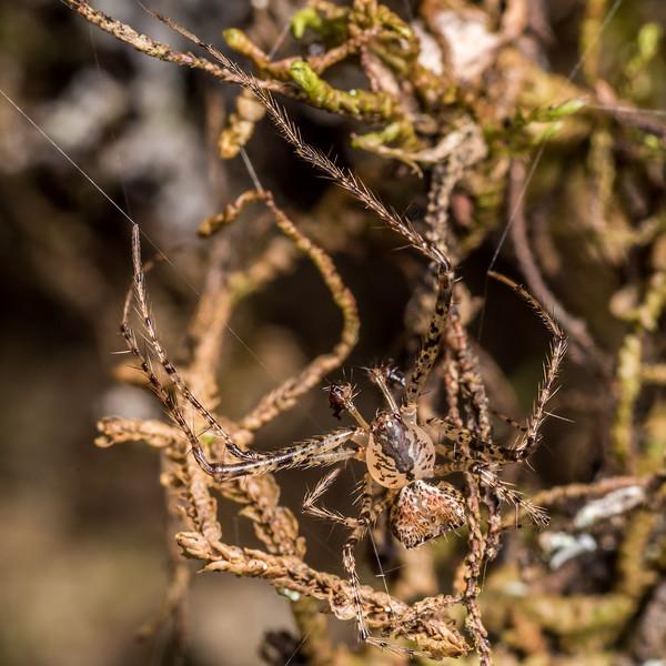 Pirate spider (Australomimetus mendicus). Junction Flat, Matukituki River East Branch, Mount Aspiring National Park.