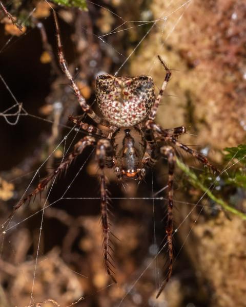 Pirate spider (Australomimetus sennio). Blue Lake, Rotorua.