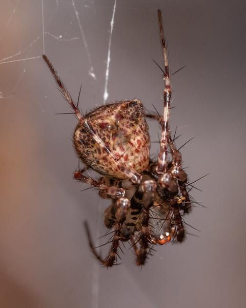 Pirate spider (Australomimetus sennio). Danseys Reserve, Rotorua.