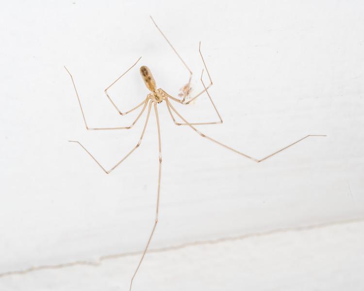 Daddy longlegs spider (Pholcus phalangioides). Punakaiki, Westland.