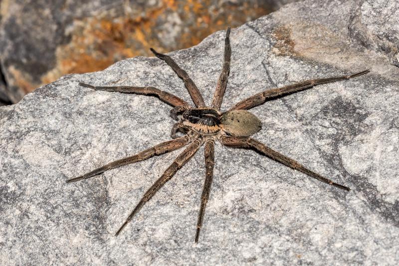 Water spider (Dolomedes aquaticus). Hapuku River, Seaward Kaikoura Range.