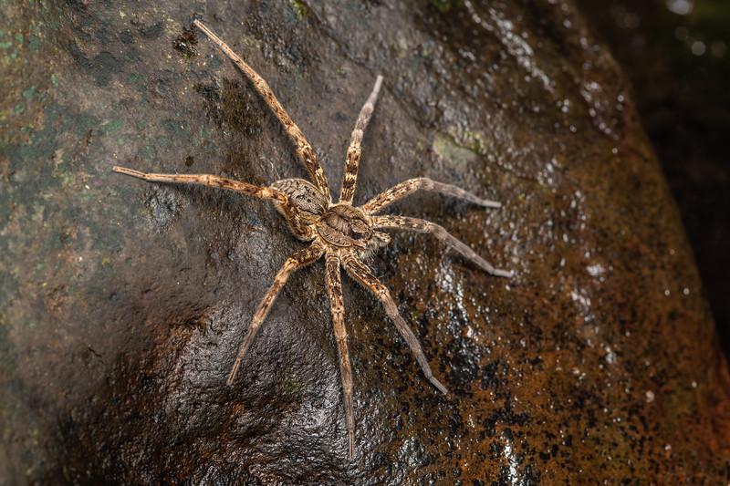 Fishing spider (Dolomedes dondalei). Mahakirau, Coromandel.
