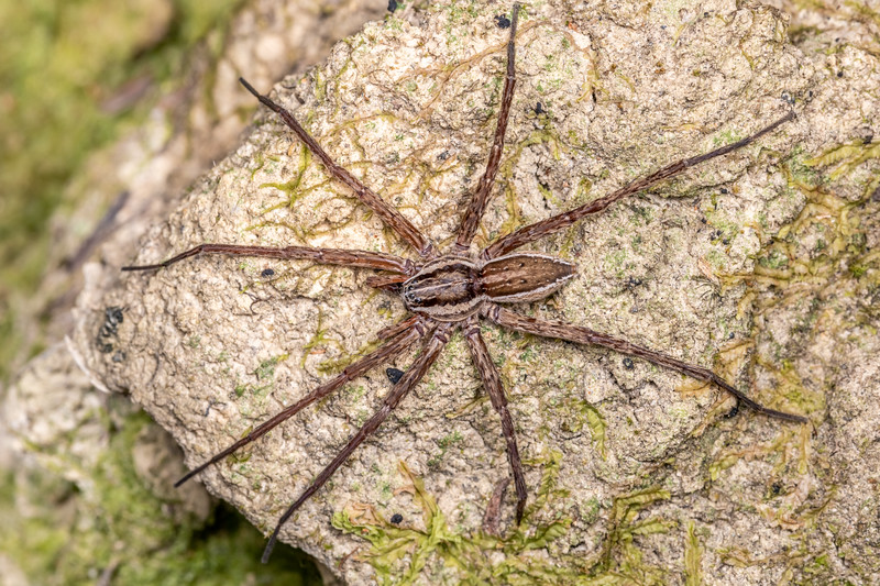 Nurseryweb spider (Dolomedes minor). Whites Bay, Rarangi, Marlborough.