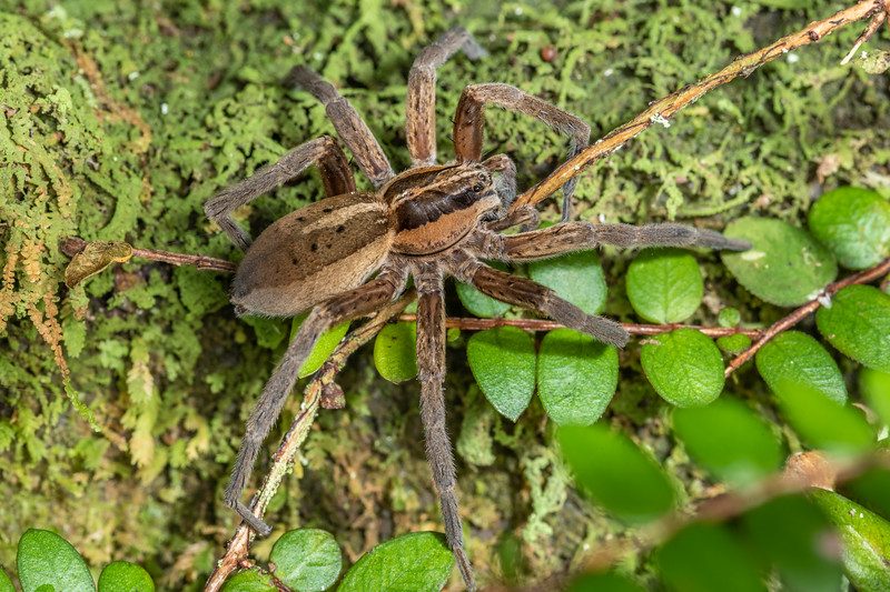 Nurseryweb spider (Dolomedes minor). Sledge track, Palmerston North, Manawatū.