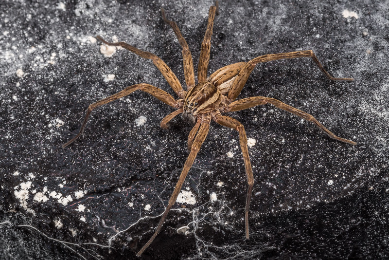 Nurseryweb spider (Dolomedes minor). Mt Stuart Tunnel, Manuka Gorge, Milton.