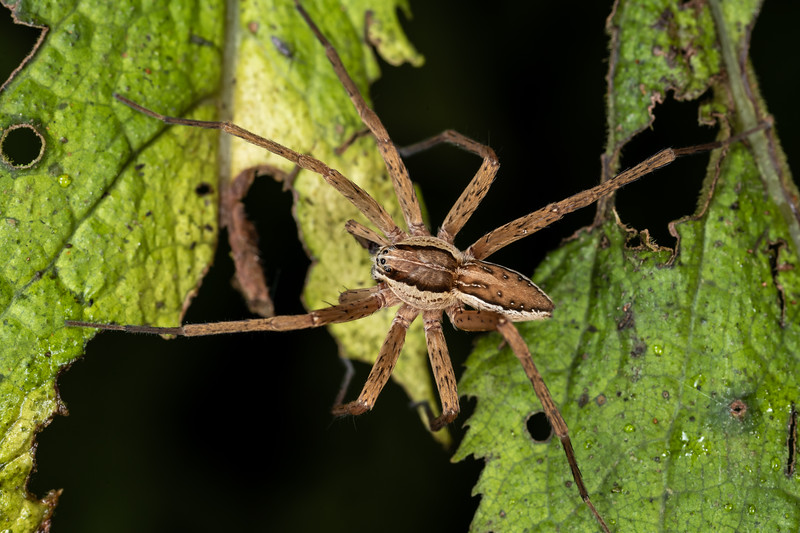 Nurseryweb spider (Dolomedes minor). Waterworks Walk, Ngaruawahia.