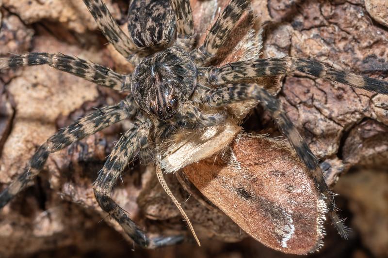 Dark fishing spider (Dolomedes tenebrosus). <br /> Wild River State Park, MN, USA.