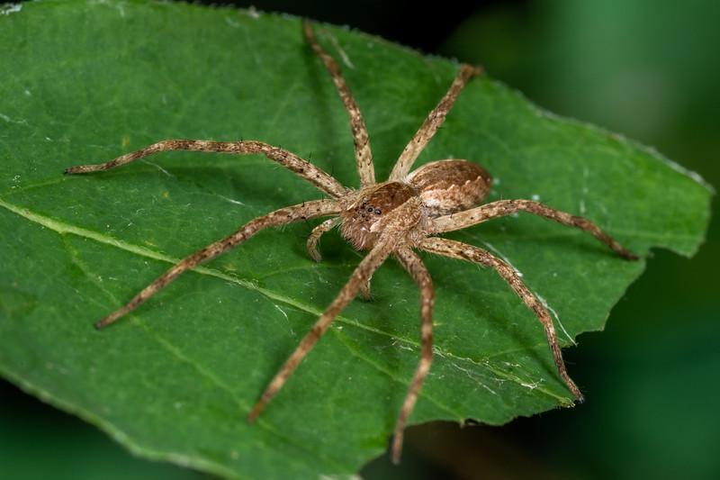 American nurseryweb spider (Pisaurina mira). Wild River State Park, MN, USA.