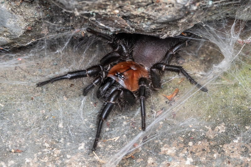 Black tunnelweb spider (Porrhothele antipodiana). Brook Waimarama Ecosanctuary, Nelson.