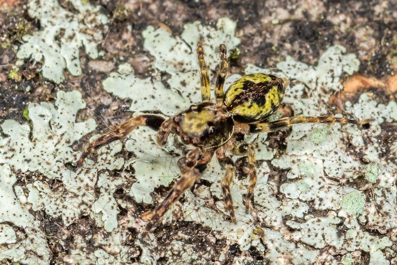Jumping spider (Hinewaia embolica). Victoria Esplanade, Palmerston North.