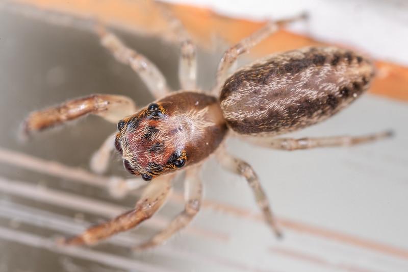 Jumping spider (Trite mustilina). Opoho, Dunedin.
