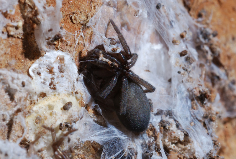 Tunnel dwelling spider (Ariadna spp.?), Waipori forest, Otago