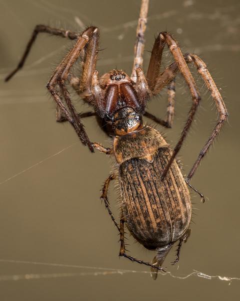 Sheetweb spider (Cambridgea spp.) predating on striped chafer (Odontria striata). Opoho, Dunedin.