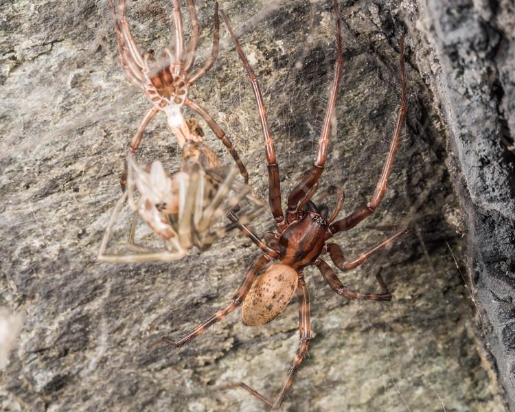 Sheetweb spider (Cambridgea spp.). Mt Stuart Tunnel, Manuka Gorge, Milton.
