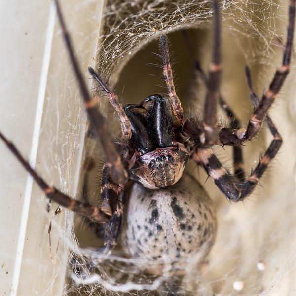Sheetweb spider (Cambridgea spp.). Opoho, Dunedin.