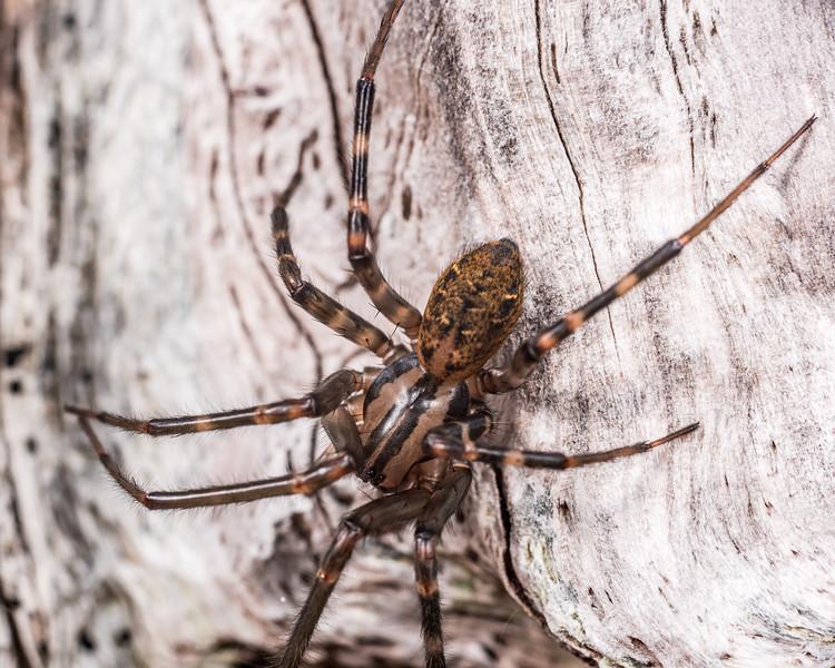 Sheetweb spider (Cambridgea spp.). Lake Monk, Fiordland National Park.