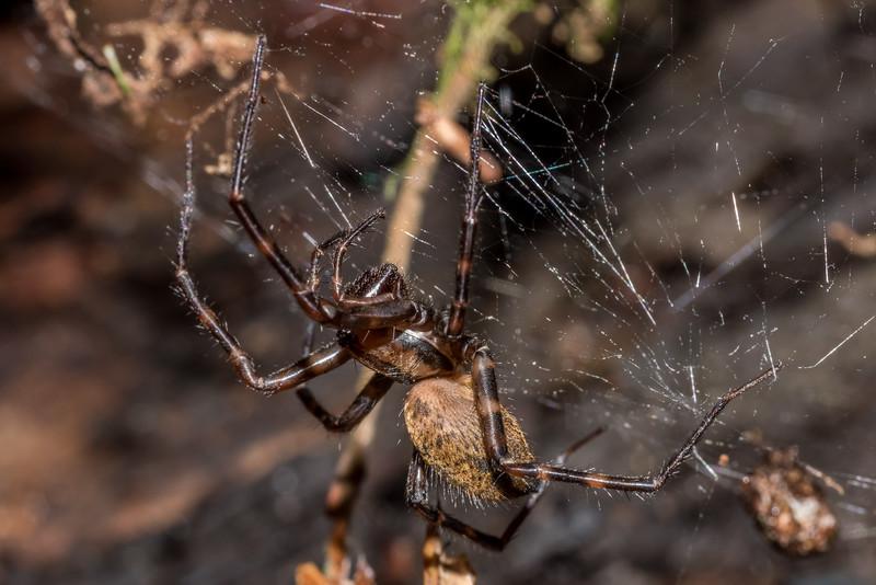 Sheetweb spider (Cambridgea spp.). Raspberry Flat, Matukituki River West Branch.