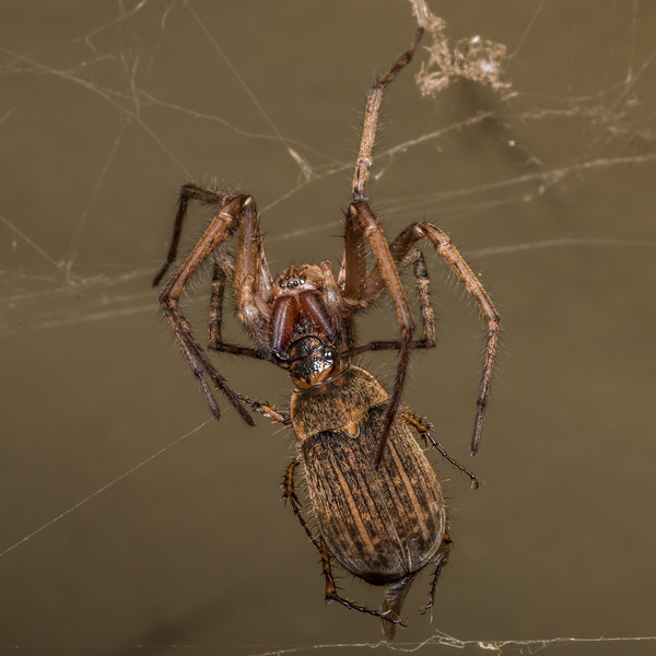 Sheetweb spider (Cambridgea spp.) predating on june beetle (Odontria spp.). Opoho, Dunedin.