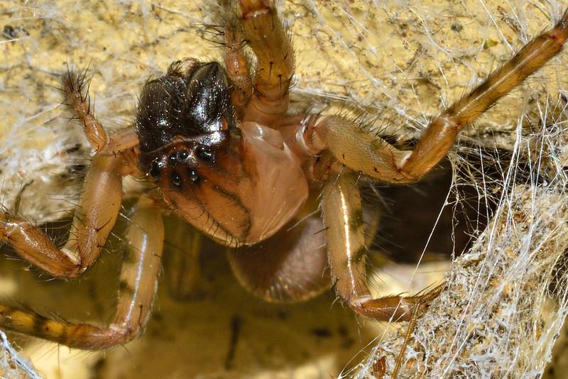 Funnel weaver (Neoramia spp.). Opoho, Dunedin.