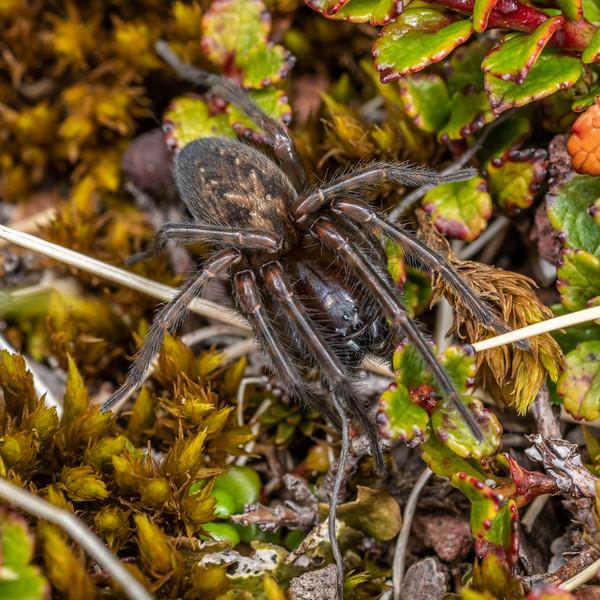 Neoramia sp. Fanthams Peak, Taranaki.