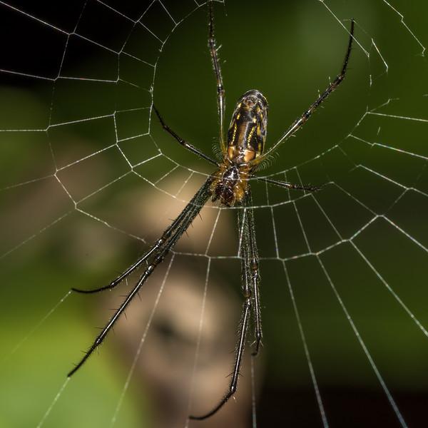 Silver orb spider (Leucauge granulata). Brisbane Botanic Garden, Australia.