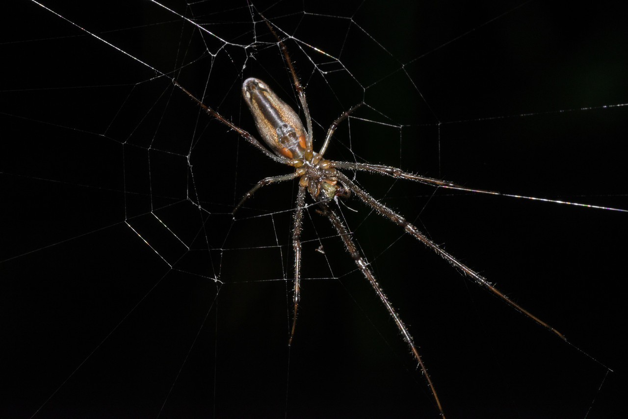 Longjawed orbweaver (Tetragnatha spp.). Fish Lake, Maple Grove, MN.
