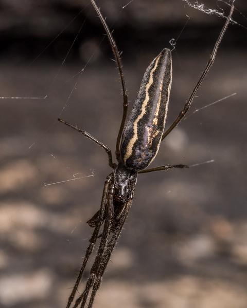 Long-jawed orbweaver (Family Tetragnathidae). Butchers Dam, Alexandra, Central Otago.