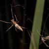 Long-jawed orbweaver (Family Tetragnathidae) preying on caddisfly (Oecetis unicolor). Butchers Dam, Alexandra, Central Otago.