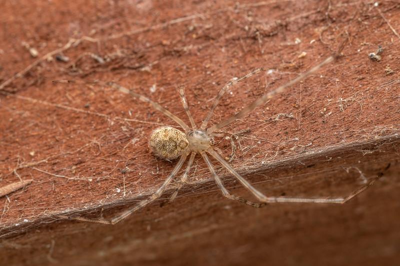 White porch spider (Cryptachaea gigantipes). Driving Creek Ecosanctuary, Coromandel.