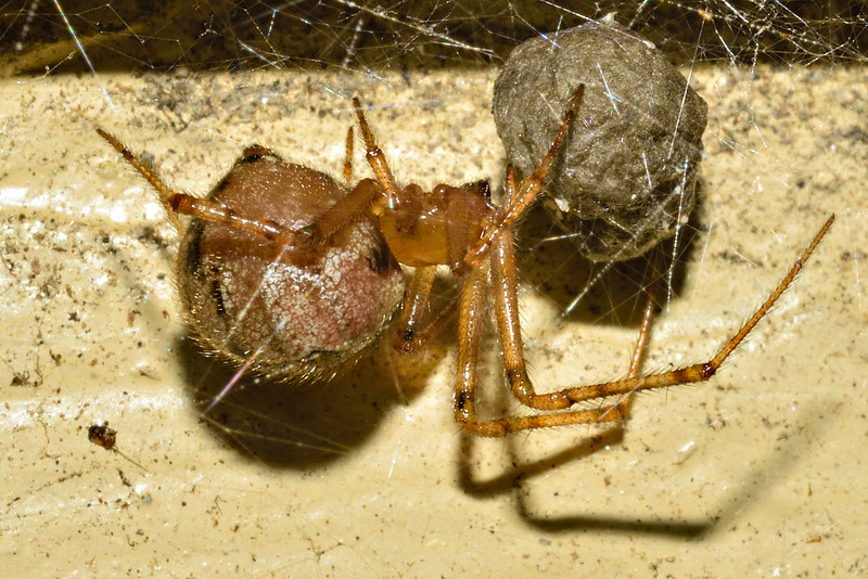 Diamond comb-footed spider (Cryptachaea veruculata) with egg sac. Opoho, Dunedin.