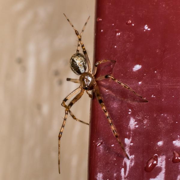 Diamond comb-footed spider (Cryptachaea veruculata). Flora Hut, Kahurangi National Park.
